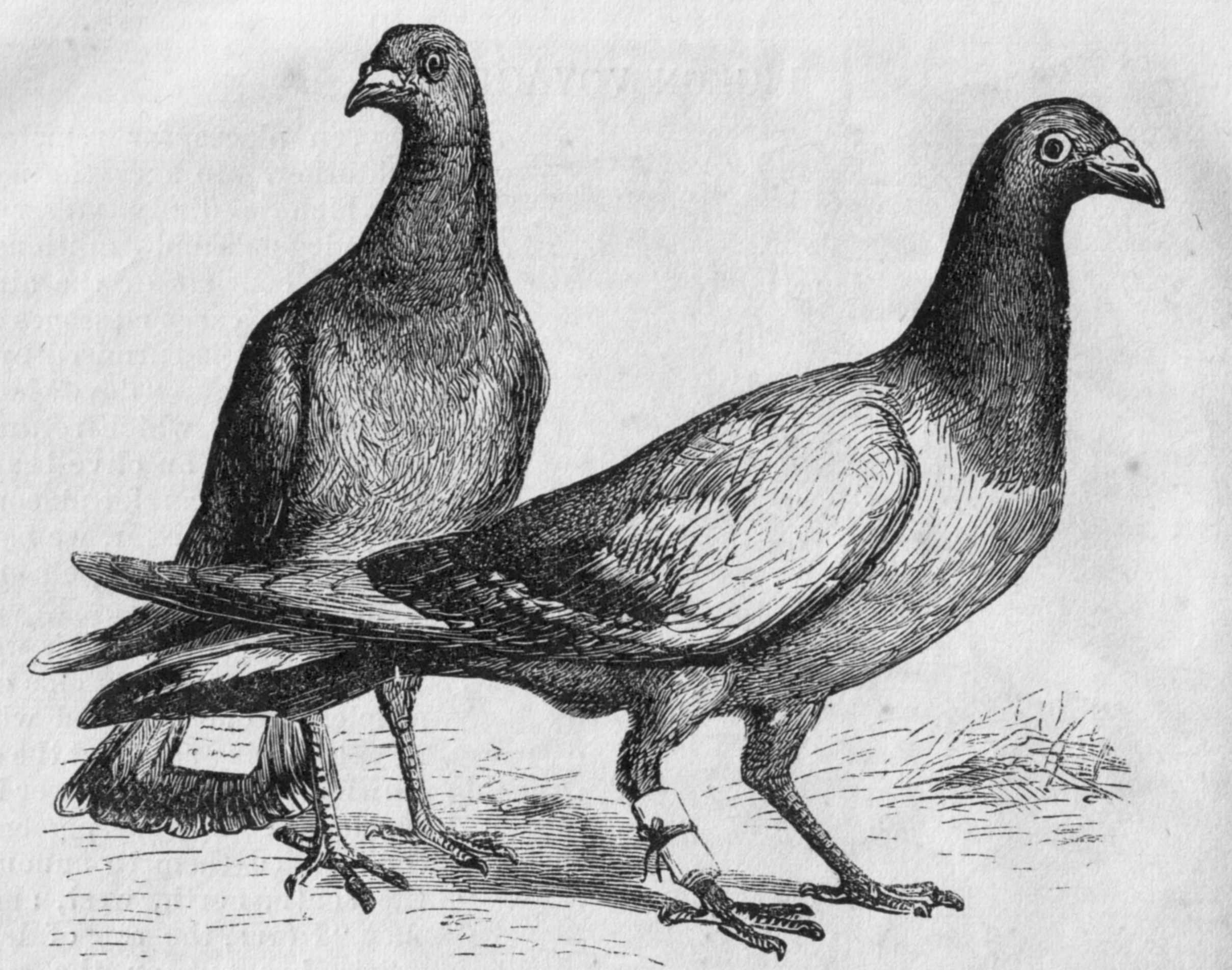 engraving of carrier pigeons